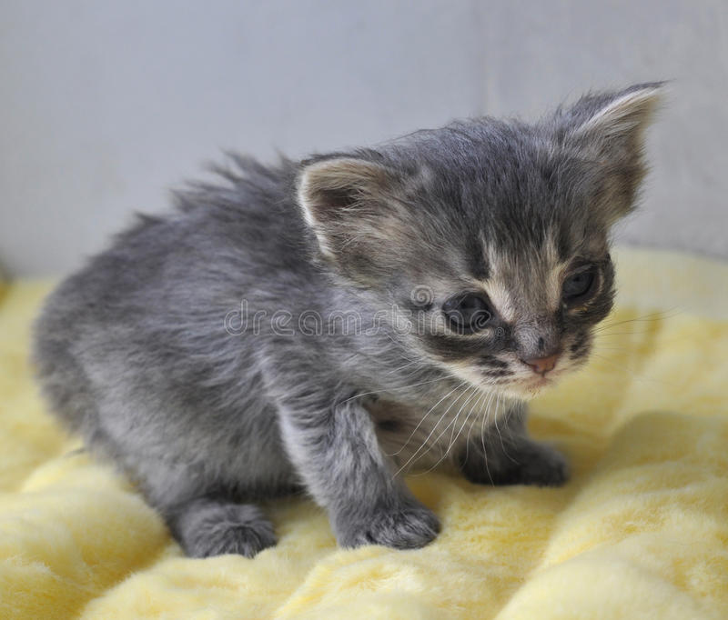 Gattino grigio neonato immagine stock libera da diritti