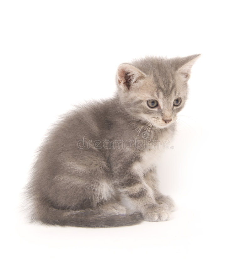 Gattino grigio su bianco immagini stock