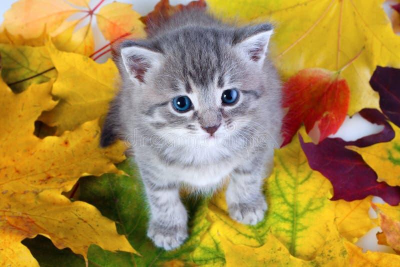 Gattino grigio sui fogli gialli fotografia stock libera da diritti