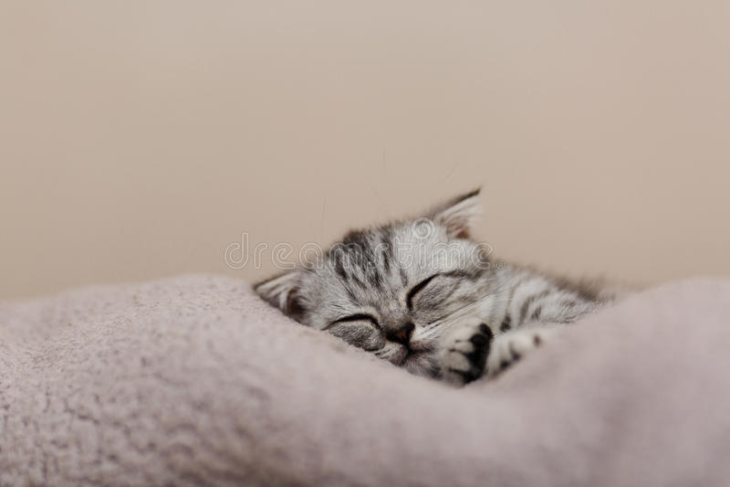 Gattino grigio sveglio di sonno sul letto Gatto scozzese dalle orecchie pendenti immagini stock libere da diritti