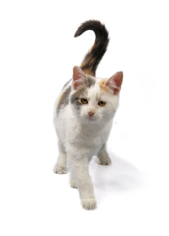 Gattino isolato su bianco fotografia stock libera da diritti