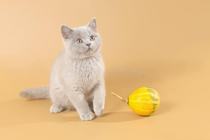 Gattino lilla dello shorthair britannico piacevole con il melone immagini stock