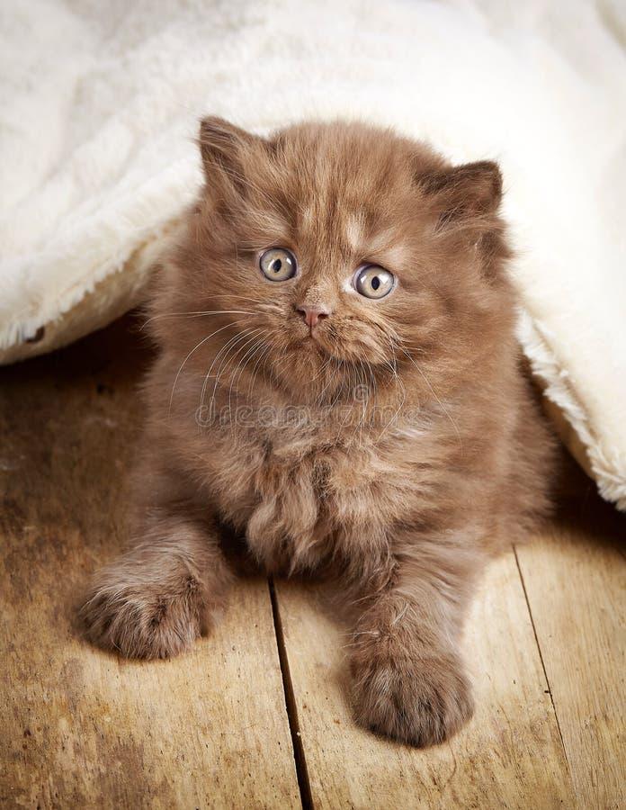 Gattino longhair britannico di Brown fotografia stock libera da diritti