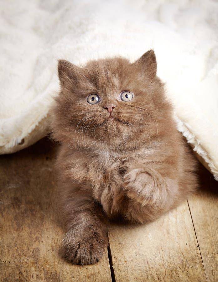 Gattino longhair britannico di Brown fotografia stock