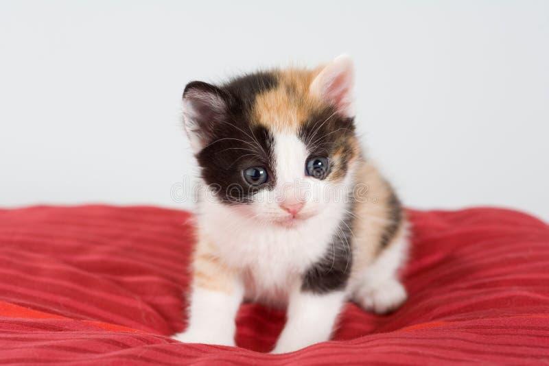 Gattino macchiato e un cuscino rosso immagini stock