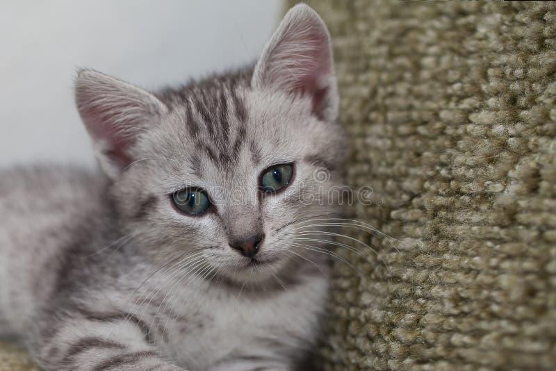 Gattino macchiato a strisce grigio fotografia stock