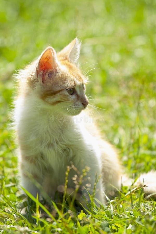 Gattino nell'erba fotografia stock