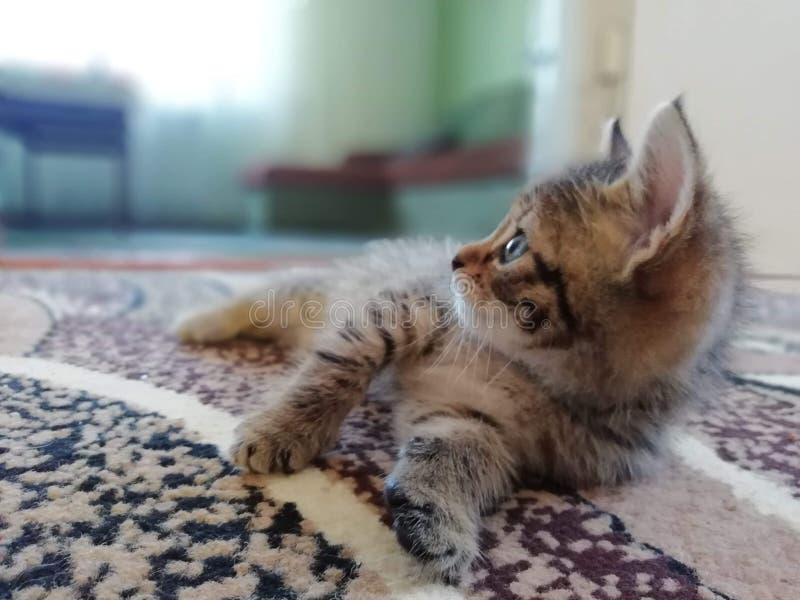 Gattino nella cucina immagini stock libere da diritti
