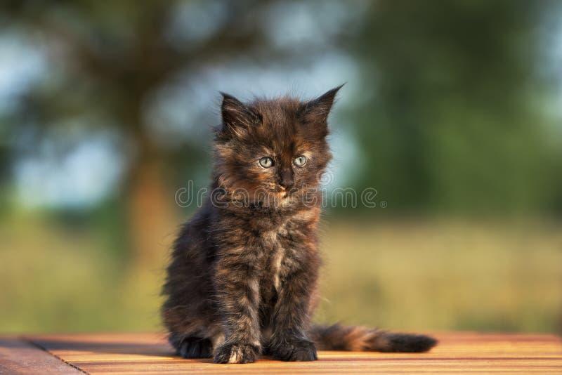 Gattino nero adorabile del procione lavatore della Maine all'aperto immagine stock
