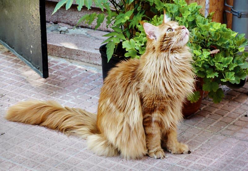 Gattino nired rosso fotografie stock