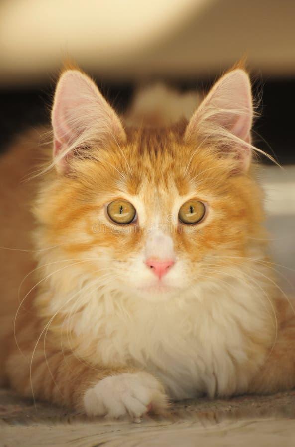Gattino norvegese del gatto della foresta fotografia stock libera da diritti
