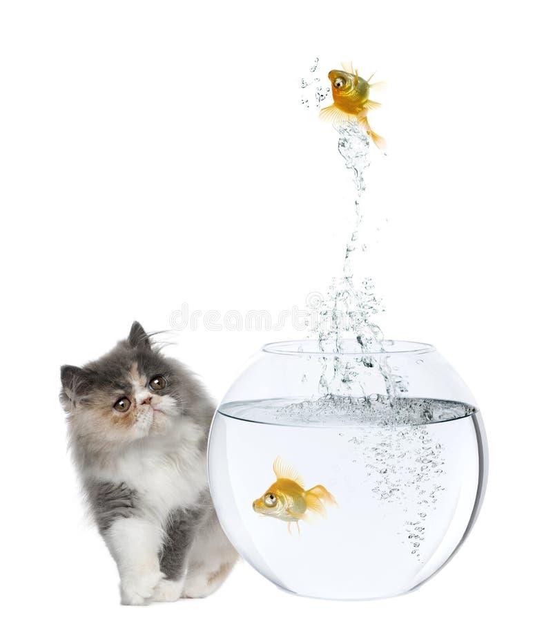 Gattino persiano, 3 mesi, goldfish di sorveglianza fotografia stock libera da diritti