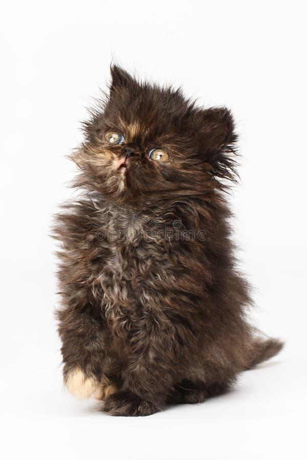 Gattino persiano immagine stock
