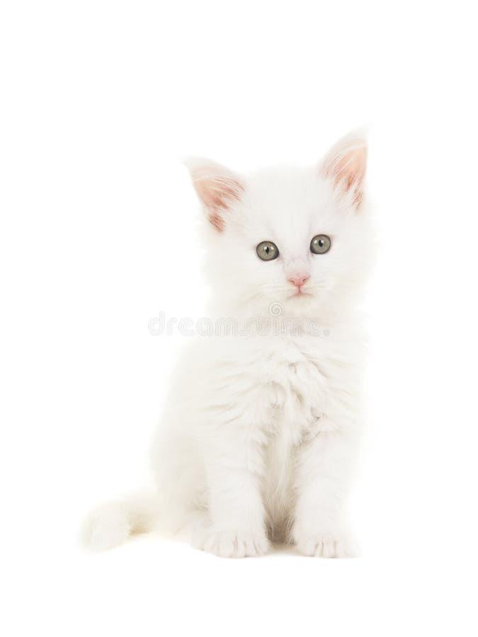 Gattino principale bianco del gatto del bambino del procione lavatore che si siede ad esaminare la macchina fotografica fotografie stock libere da diritti