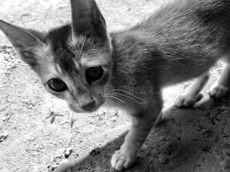 Gattino, purulento, gatto fotografia stock libera da diritti