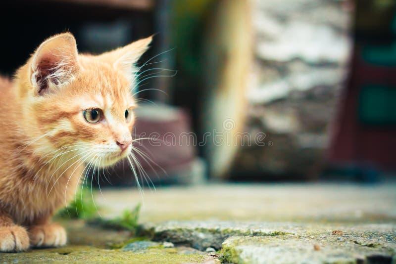Gattino rosso immagine stock libera da diritti