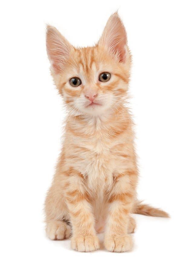 Gattino rosso fotografie stock