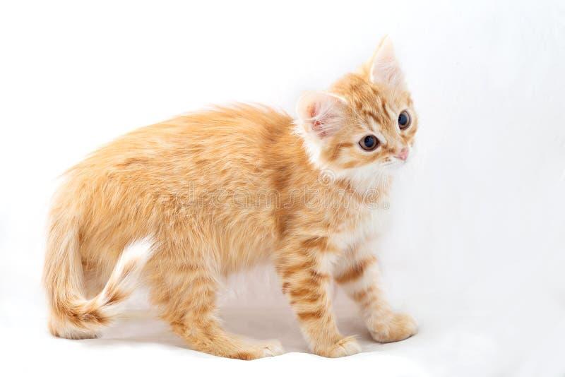 Gattino rosso su sfondo chiaro, vista profilo immagine stock libera da diritti