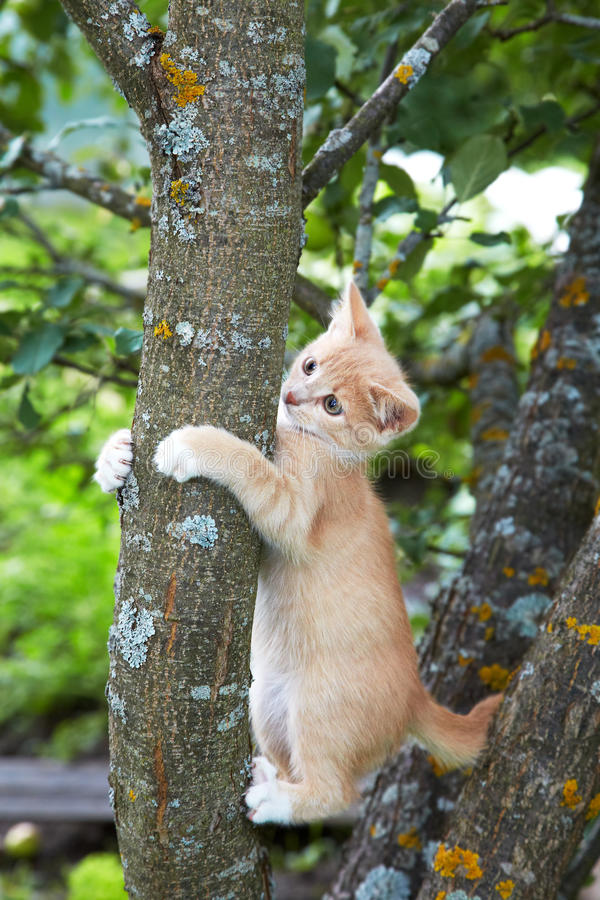 Gattino rosso su un albero nel pomeriggio fotografia stock