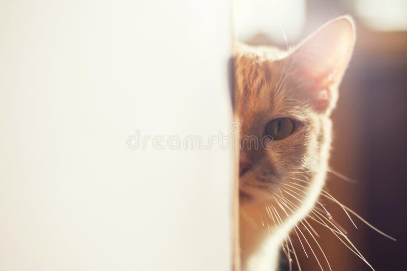 Gattino rosso sveglio che dà una occhiata fuori all'angolo su una bella luce fotografia stock