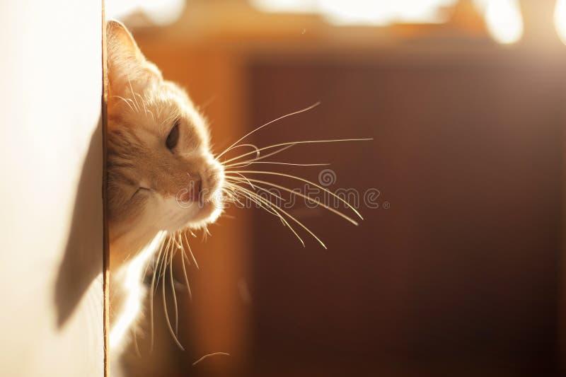 Gattino rosso sveglio che dà una occhiata fuori all'angolo su una bella luce immagine stock libera da diritti