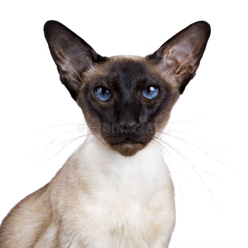 Gattino sacro di birmano in una scatola di legno immagine stock