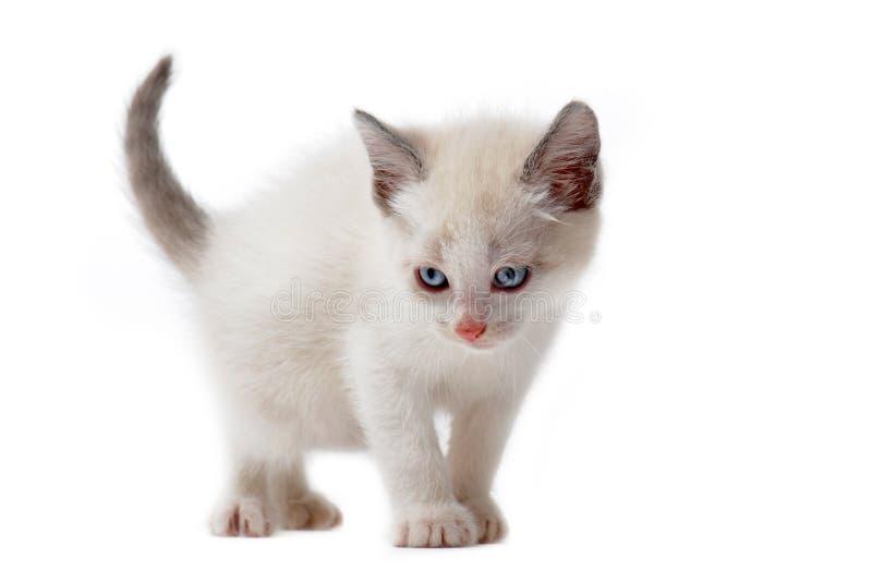 Gattino siamese bianco fotografie stock
