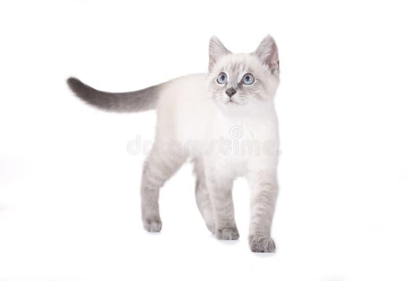 Gattino siamese del bello occhio azzurro immagine stock libera da diritti