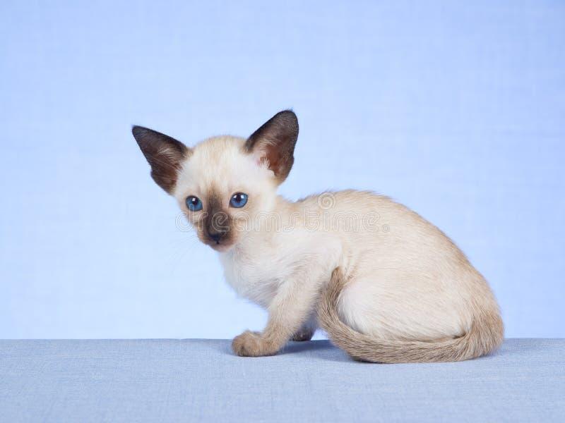 Gattino siamese su priorità bassa blu fotografie stock libere da diritti