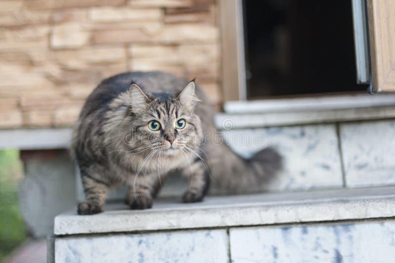 Gattino siberiano immagini stock libere da diritti