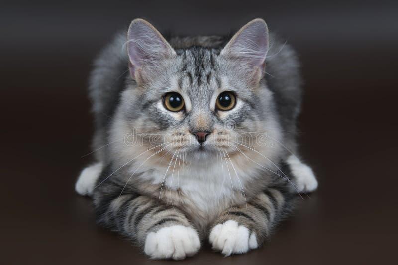 Gattino siberiano fotografie stock libere da diritti