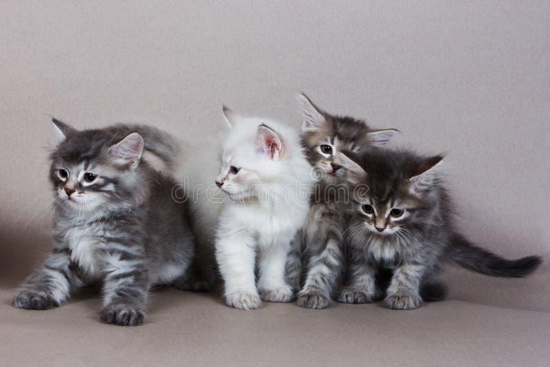 Gattino siberiano immagine stock libera da diritti