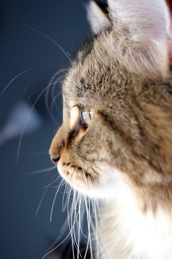 Gattino siberiano che guarda fuori la finestra fotografia stock libera da diritti