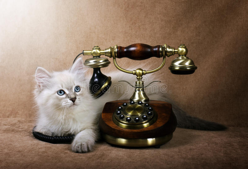Gattino siberiano con il retro telefono fotografia stock