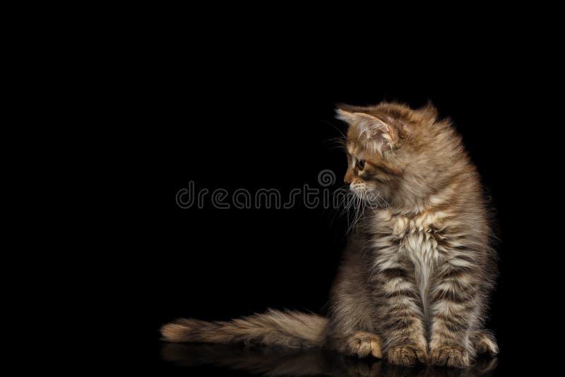 Gattino siberiano su fondo nero isolato fotografia stock