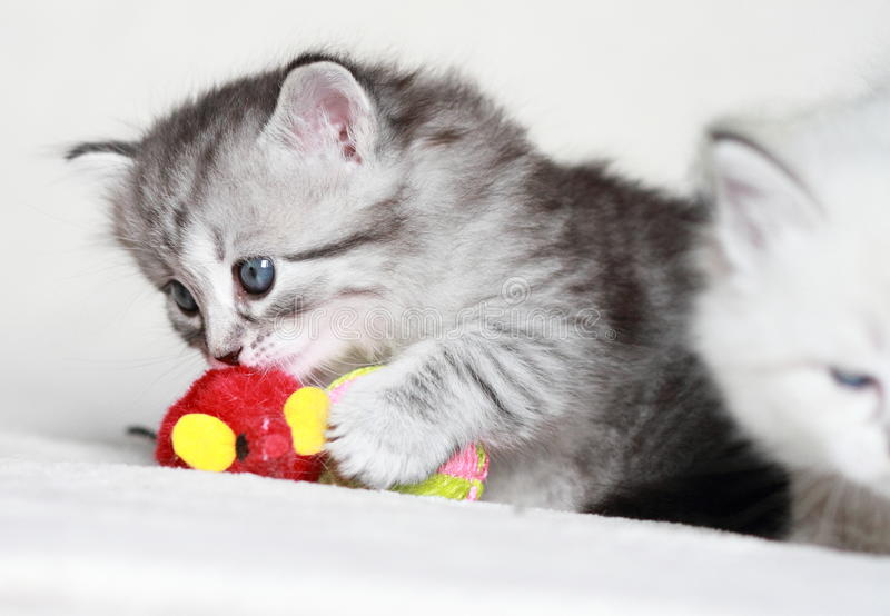 Gattino siberiano, versione d'argento fotografia stock