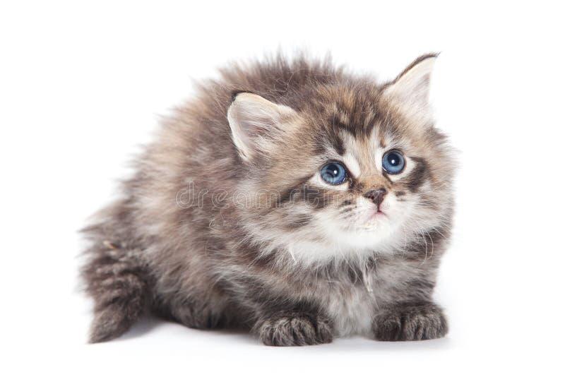 Gattino simile a pelliccia siberiano immagine stock libera da diritti