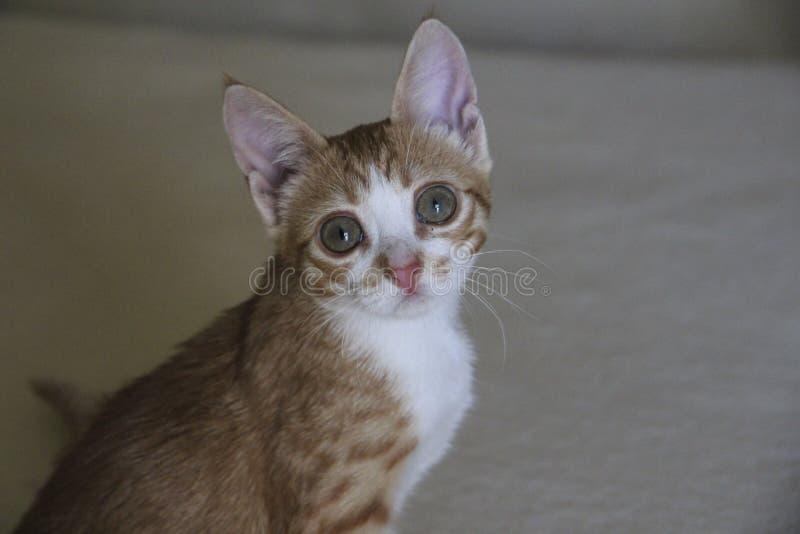 Gattino a strisce rosso fotografia stock libera da diritti