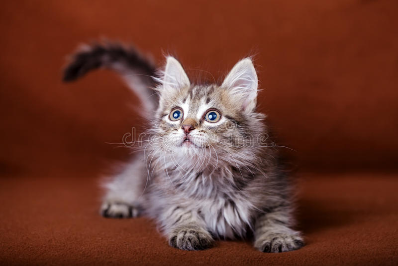 Gattino a strisce sveglio immagine stock libera da diritti