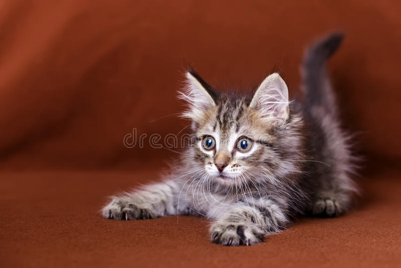 Gattino a strisce sveglio fotografia stock libera da diritti
