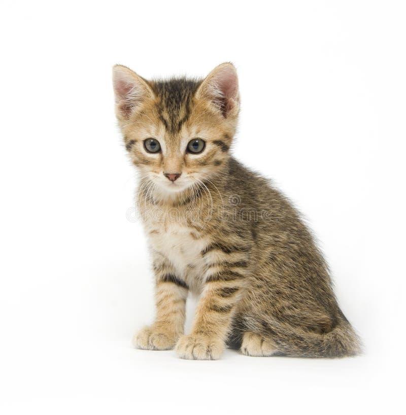 Gattino su bianco immagine stock libera da diritti