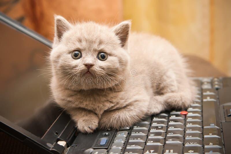 Gattino su un computer portatile fotografie stock