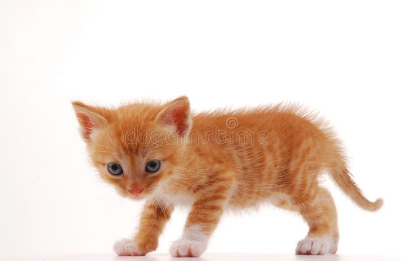 Gattino su una priorità bassa bianca fotografia stock