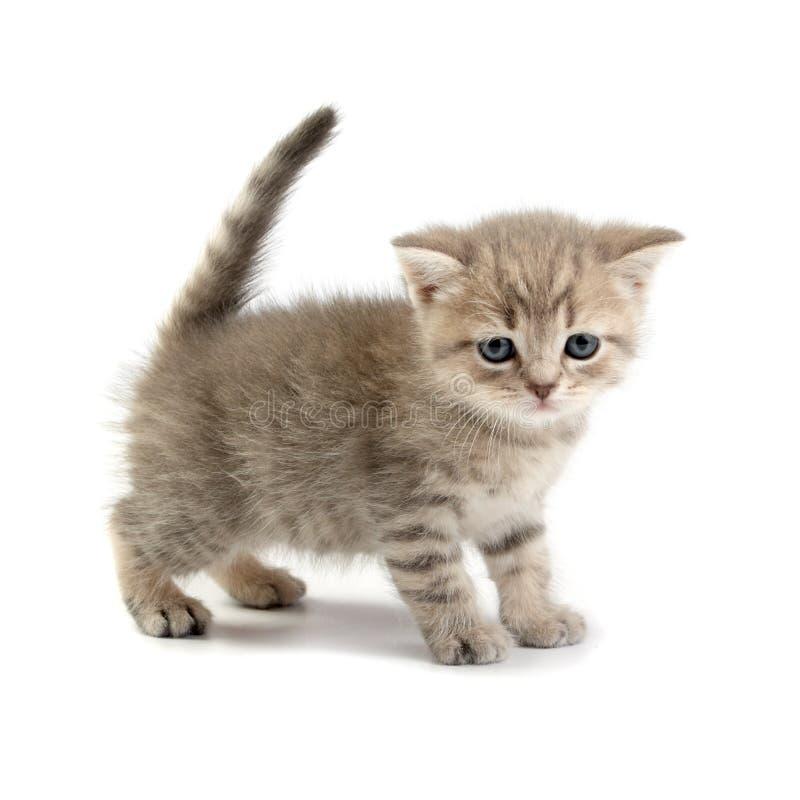 Gattino su una priorità bassa bianca immagini stock libere da diritti