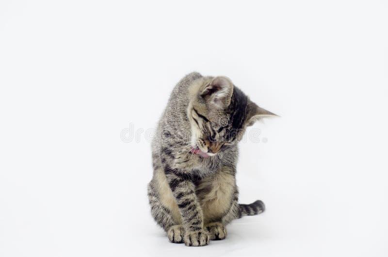 Gattino sveglio che pulisce le sue zampe immagine stock libera da diritti