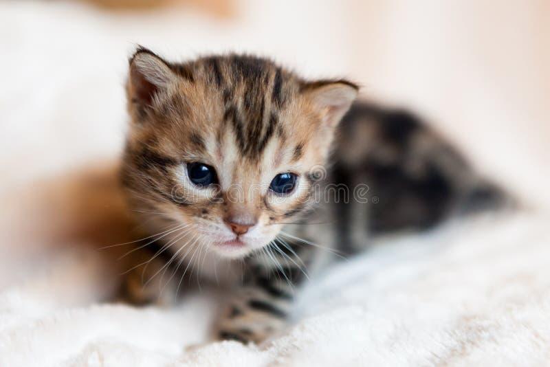 Gattino sveglio del Bengala immagine stock