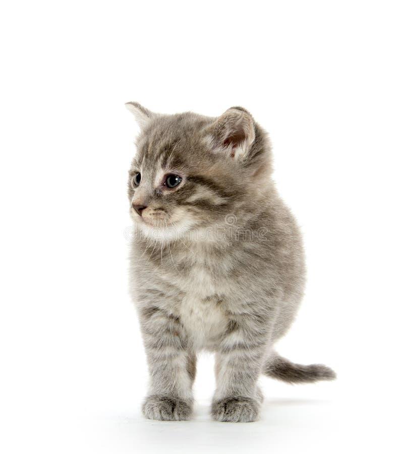 Gattino sveglio del soriano fotografie stock