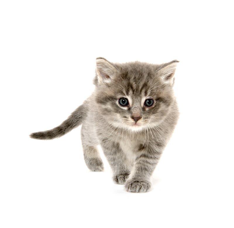 Gattino sveglio del soriano fotografia stock