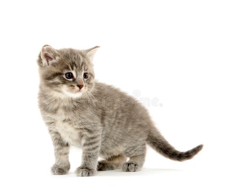 Gattino sveglio del soriano immagini stock libere da diritti