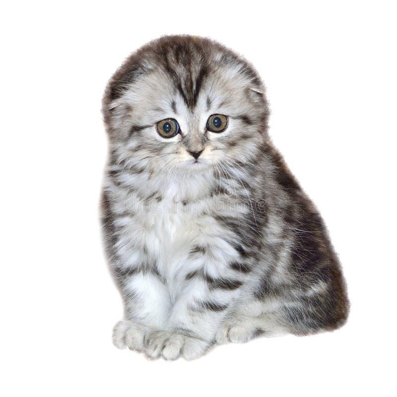 Gattino sveglio della fine della razza del popolare dell'altopiano su, isolato su bianco fotografia stock